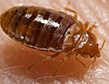 bed-bugs-pest-control-fairfield-county-apollox